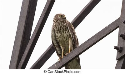 Northern Harrier (Circus cyaneus) female sitting on a...