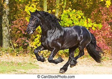 friesian stallion in autumn