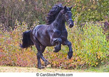 friesian stallion in action