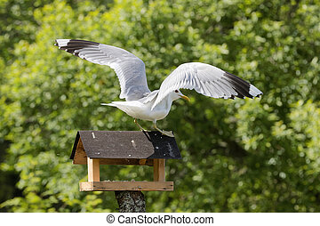 Seagull standing on bird table - Sea gull standing and...