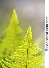 Two back lit fern - Two de-focused back lit fern latin:...