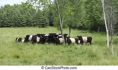 Belted Galloway cattle - A small herd of Belted Galloway...