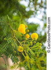 mimosa, fiori, giallo