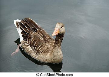 Wild goose on a lake