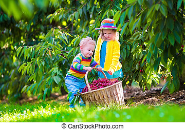 Kids picking cherry fruit on a farm - Kids picking cherry on...