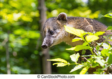 South American coati Nasua nasua baby is climbing on a tree...