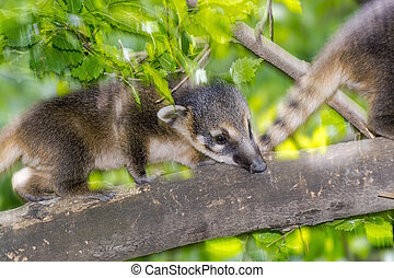 South American coati (Nasua nasua) baby is running on a tree