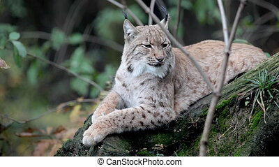 Eurasian Lynx (Lynx lynx) - Close-up view HD footage of an...