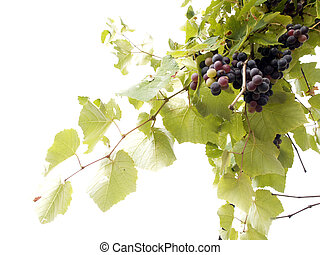 grape vine - hanging on the branch