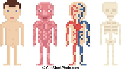 Human Body Anatomy - nude body, muscle, blood circle and...