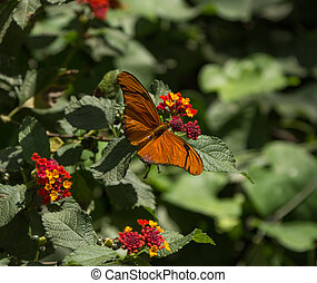 The Julia butterfly, Dryas Julia, is found from Brazil to...