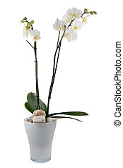 orchid, isolated on white background