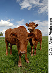 Range Cows - Pair of Range Cows Under American Western Skys