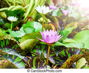 lotus - colorful waterlily The flower grows in tropical...