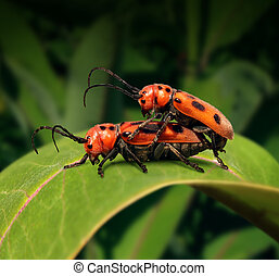 Sex In Nature - Sex in nature concept as two beetle insects...