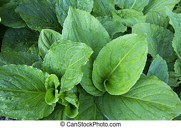 Skunk cabbage top view - Closeup high angle shot of lush...