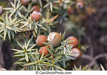 Cone of juniperus macrocarpa - Cone of juniper Juniperus...