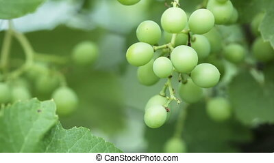 Unripe grapes - On background of greenery Unripe grapes