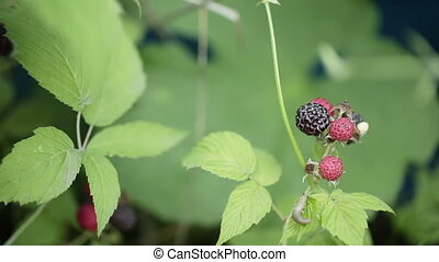 Black raspberries - Mans hand breaks raspberry bush