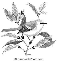 Brewsters Warbler - Vermivora hybrid