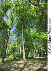 Beech Forest And Blue Sky - Wide angle view in a beech...
