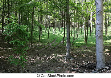 Beech Forest - A beech forest in Saxony-Anhalt in Germany.