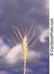 Wheat ear against the  blue cloudy sky