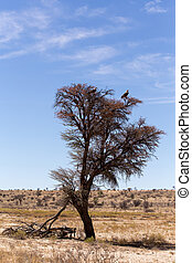 Lonely dead tree with eagle landscape in kgalagadi...