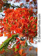 detail of Delonix Regia Flamboyant tree - close up detail of...