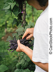 String beans  - Woman harvesting string beans in her garden