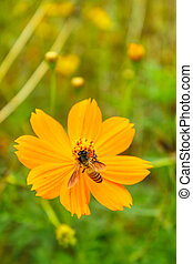 Yellow Cosmos flower. - yellow cosmos flower with bee in the...