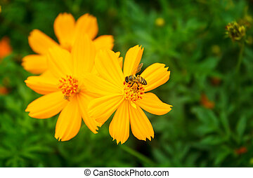 Yellow Cosmos flower - yellow cosmos flower with bee in the...