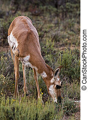 Grazing Female Pronghorn Doe Bryce Canyon National Park Utah...