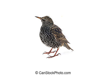 Starling Sturnus vulgaris isolated on white Studio shot