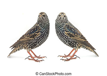 starling - Two Starling Sturnus vulgaris isolated on white...