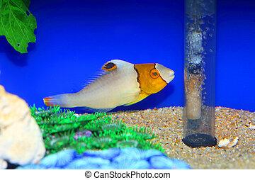 Bicolor Parrotfish Cetoscarus ocellatus in Japan