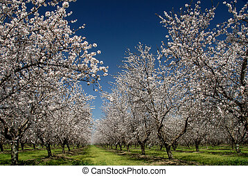 White Almond Blossoms - Orchard of White Almond Blossoms...