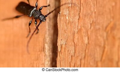 Cerambyx cerdo on a wooden board at the turn spring and...