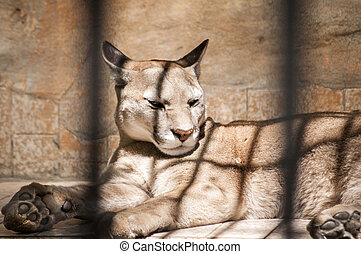 Puma in zoo cage - Puma lying in zoo cage in sunny day