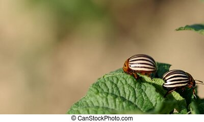 The two striped colorado beetles - Colorado beetles -...
