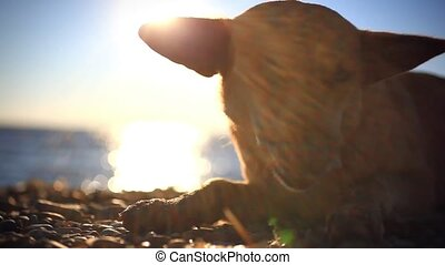 Homeless dog eats a fish on a sunset beach at blurred bokeh...