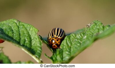 Striped colorado beetle