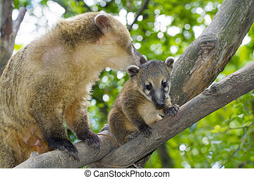 South American coati (Nasua nasua) baby and its mother