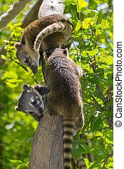 South American coati Nasua nasua baby is climbing on a tree...