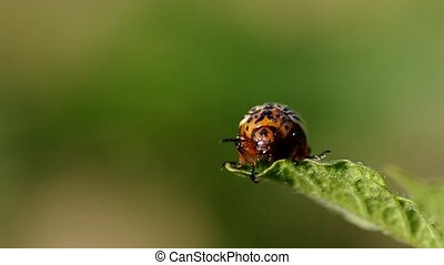 Striped colorado beetle - Colorado beetle - Leptinotarsa...