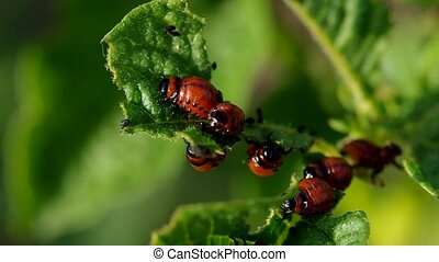 Larva on potato leaf - Colorado Potato beetle Larva -...