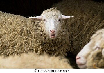 Have your voice heard! - Close-up of a herd of sheep, focus...