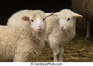 Lamb twins - Close-up of two little spring lambs against the...