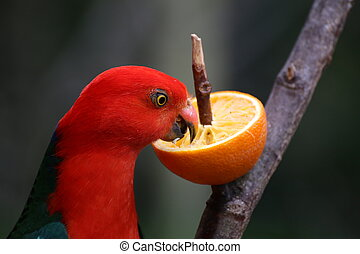 Australian King Parrot Eating An Orange - Australian king...