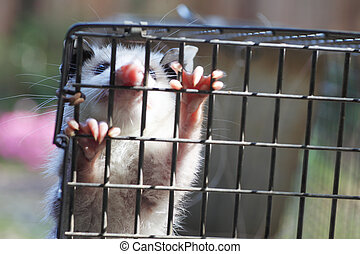 Very young possum in trap - baby possum in humane trap,...